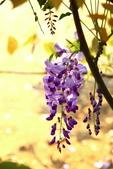 紫藤:紫藤0059.JPG