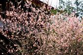 魚池鄉鹿篙社區櫻花:20130224-IMG_5992.jpg