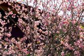 魚池鄉鹿篙社區櫻花:20130224-IMG_5995.jpg