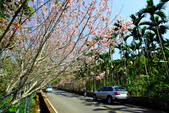 魚池鄉鹿篙社區櫻花:20130224-IMG_6002.jpg