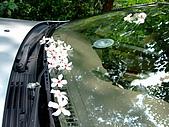 980502苗栗銅鑼油桐花&薰衣草森林:98.05.02-灑落在車窗上的桐花