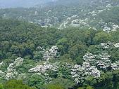 980502苗栗銅鑼油桐花&薰衣草森林:98.05.02-我家後山滿山遍野的油桐花