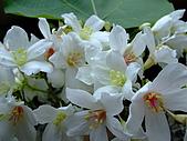 980502苗栗銅鑼油桐花&薰衣草森林:98.05.02-油桐花