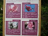 980321台北陽明山海芋:98.03.21-櫻花的分類