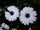 980321台北陽明山海芋:98.03.21-殘缺的菊