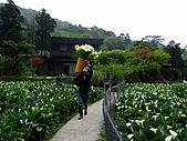 980321台北陽明山海芋:98.03.21-竹子湖海芋