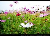 美濃波斯菊:DSC_0198.jpg