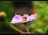 美濃波斯菊:私房花現-辛勤的工蜂