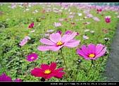 美濃波斯菊:DSC_0173.jpg
