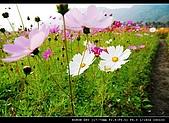 美濃波斯菊:DSC_0177.jpg