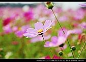美濃波斯菊:DSC_0189.jpg