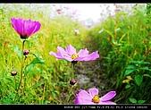 美濃波斯菊:DSC_0191.jpg
