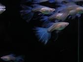 天空藍白子孔雀魚:DSC05149.JPG
