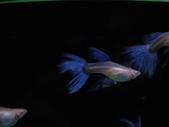 天空藍白子孔雀魚:DSC05107.JPG