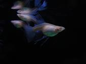 天空藍白子孔雀魚:DSC05131.JPG