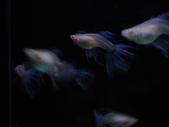 天空藍白子孔雀魚:DSC05116.JPG