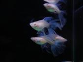 天空藍白子孔雀魚:DSC05145.JPG