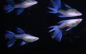天空藍白子孔雀魚:20150505.jpg