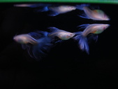 天空藍白子孔雀魚:DSC05144 - 2.JPG