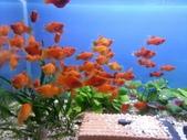 水族(公開):紅球魚