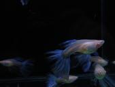 天空藍白子孔雀魚:DSC05109.JPG