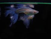 天空藍白子孔雀魚:DSC05119.JPG