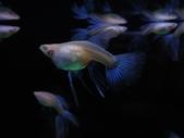 天空藍白子孔雀魚:DSC05128.JPG