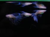 天空藍白子孔雀魚:DSC05144 - 複製.JPG