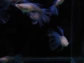 天空藍白子孔雀魚:DSC05115.JPG