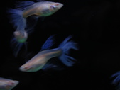 天空藍白子孔雀魚:DSC05110.JPG