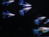 天空藍白子孔雀魚:DSC05140 - 複製.JPG