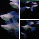 天空藍白子孔雀魚:相簿封面