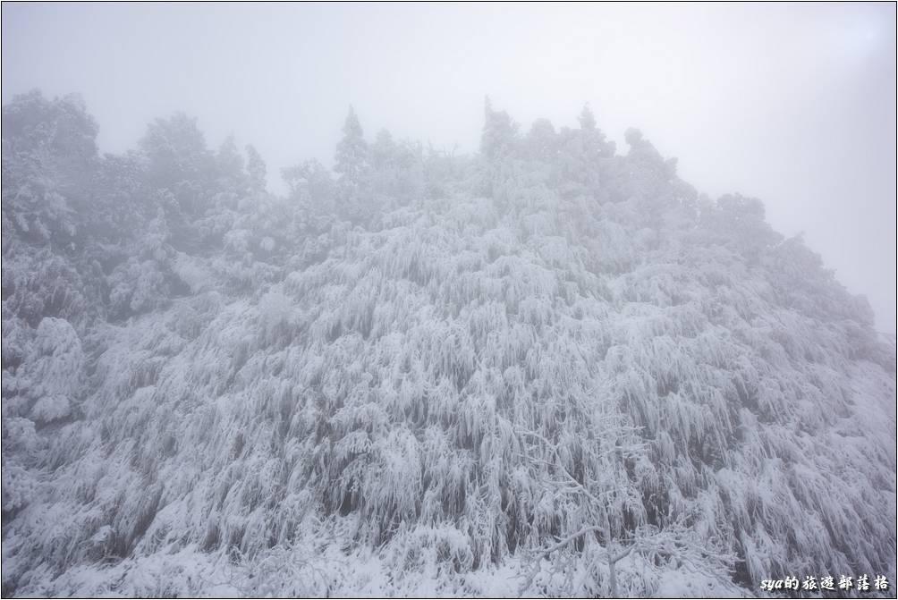 太平山停車場旁的植物,早已被大雪覆蓋成另一種景色