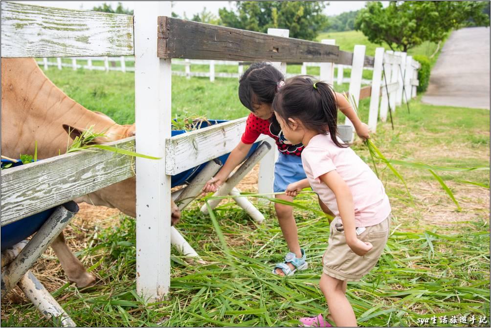 可能有圍欄,所以上午餵梅花鹿一直嚇得亂叫的小背,傍晚餵牛時倒是自然了不少。雖然看她的姿勢還是有種隨時都要往後跑的感覺!
