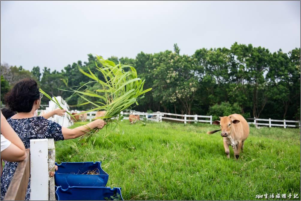 在農場裡就能體驗餵養牛群