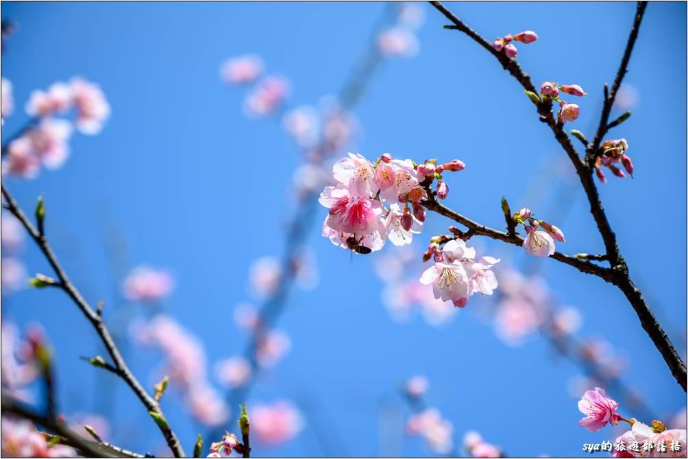 汐止 康誥坑溪 櫻花季