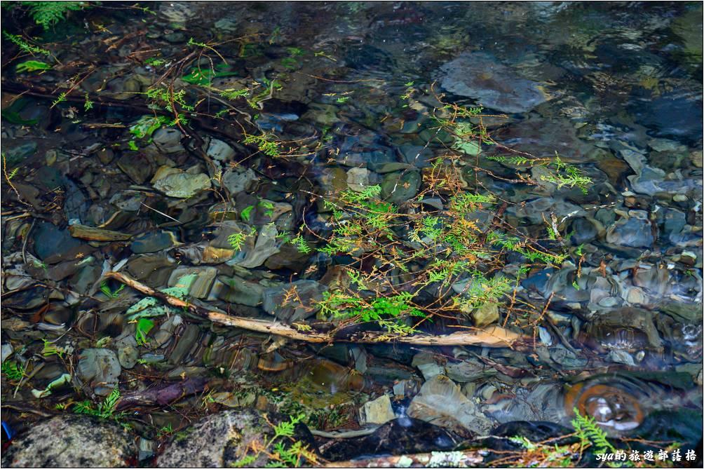 水質超清澈,要不是有些波紋,就好像葉片直接落在石頭上一般。