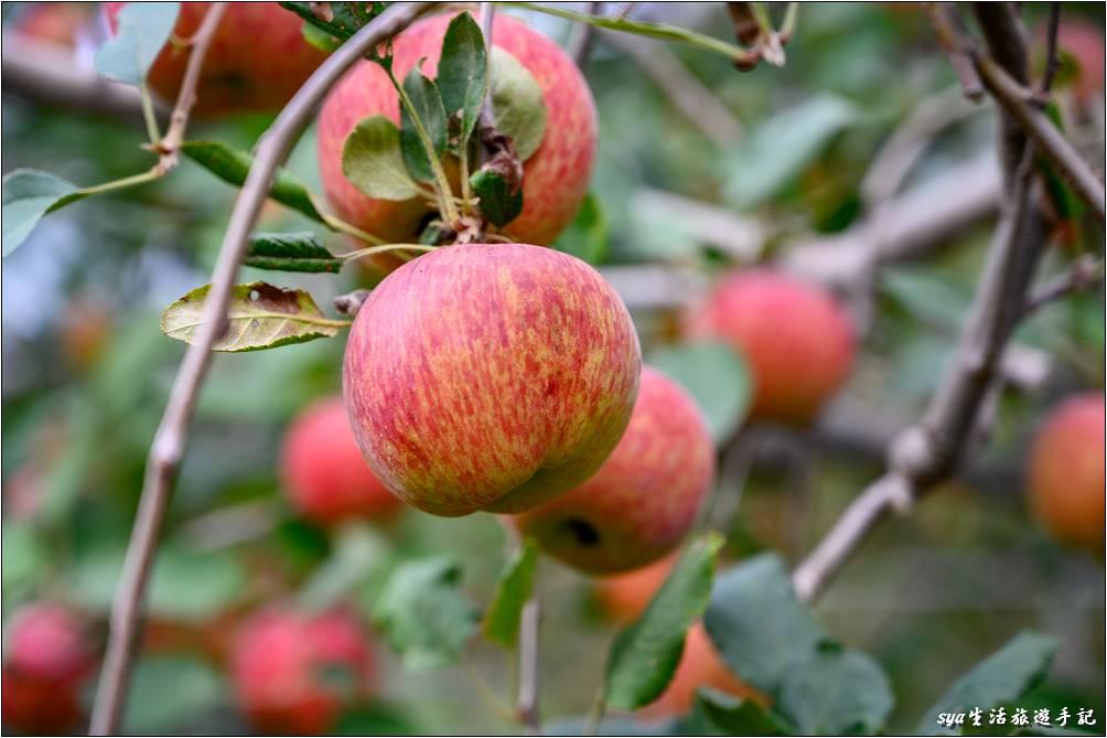 蘋果樹結實累累,大家都迫不急待的要進入果園採果囉!