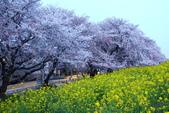 春(1) 似水流年:0034.JPG  熊谷桜堤