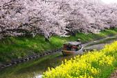 春(3) 似是故人來:0270.JPG 近江八幡水鄉めぐり