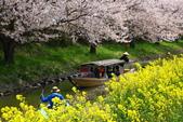 春(3) 似是故人來:0284.JPG 近江八幡水鄉めぐり