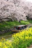 春(3) 似是故人來:0281.JPG 近江八幡水鄉めぐり
