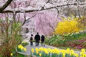 春(7) 美麗的零落:0957.JPG 船岡城址公園