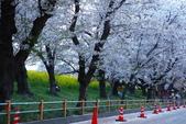 春(1) 似水流年:0032.JPG 熊谷桜堤