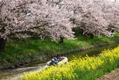 春(3) 似是故人來:0285.JPG 近江八幡水鄉めぐり