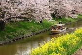 春(3) 似是故人來:0287.JPG 近江八幡水鄉めぐり
