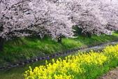 春(3) 似是故人來:0269.JPG 近江八幡水鄉めぐり