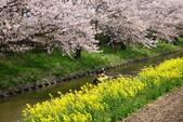春(3) 似是故人來:0286.JPG 近江八幡水鄉めぐり