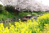 春(3) 似是故人來:0276.JPG 近江八幡水鄉めぐり