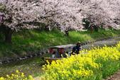春(3) 似是故人來:0278.JPG 近江八幡水鄉めぐり